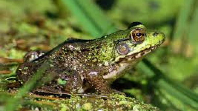 northerngreenfrog